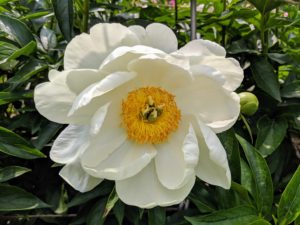 Peonies are plants that can be enjoyed for many years – they can live up to 100-years and still produce magnificent flowers.
