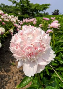 This flower form is a bomb with a large number of petals rising in the center to form a distinct mound.