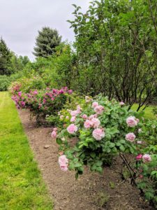 Rose bushes need six to eight hours of sunlight daily. In hot climates, roses do best when they are protected from the hot afternoon sun. In cold climates, planting a rose bush next to a south or west facing fence or wall can help minimize winter freeze damage.