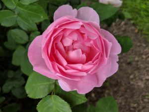 'Constance Spry' is the original English rose. It has large, glowing pure rose pink, deeply cupped blooms with a strong myrrh fragrance - this one looks perfect.