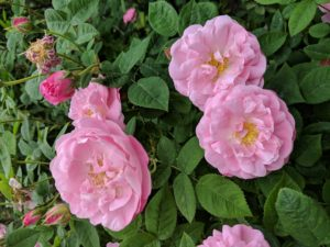 Double blooms consist of 16 to 25 overlapping petals in three or more rows.