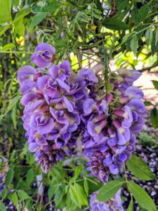 Under the arbor, we also have sweet-smelling wisteria - a high-climbing vine that blooms vigorously in spring with large, drooping clusters of fragrant lilac or bluish-purple flowers.