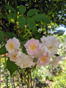 They are beautiful, little, rosette-shaped flowers held in large, open sprays of pale pink with a wonderfully strong musky fragrance. I have a few of these prolific roses around this space.