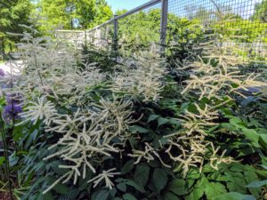 Outside the flower cutting garden, beautiful Aruncus dioicus, commonly called goat's beard. It is a tall, erect, bushy, clump-forming plant typically growing four to six feet high which features pinnately compound, dark green foliage and showy, plume-like spikes of tiny, cream colored flowers.