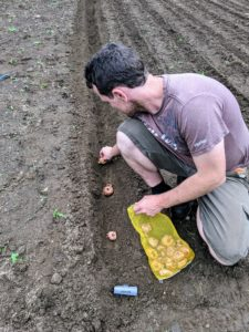 Ryan starts placing the gladiola bulbs in the trenches. As a rule of thumb, bulbs should be planted about three times their actual height.