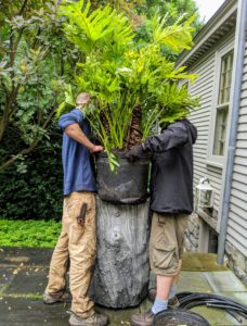 Here are Gavin and Ryan carefully placing the philodendron into the faux bois pot.