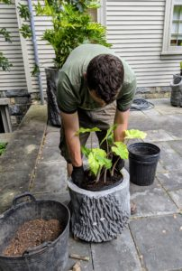 Soon after, the potted young Alocasias are placed into another faux bois pot for display.
