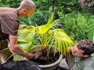 The two fill the rest of the pot with medium. The Mexican fan palm likes full sun to partial shade and well-draining sand to loam type soil.