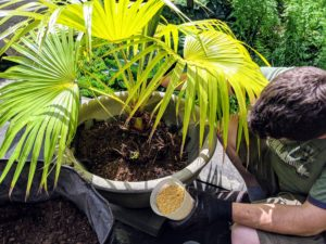 And then Ryan sprinkles osmocote around the base of each plant.