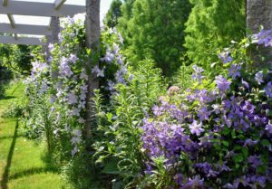 Every year, these clematis vines look more and more beautiful. If you don't already have clematis in your garden, I hope this inspires you to plant one or two or three…