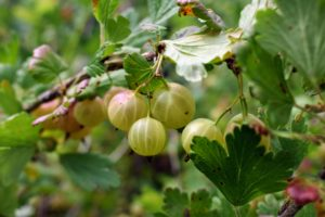Well-maintained gooseberry bushes can fruit for more than 15-years. They are fast-growing, deciduous shrubs, that can grow up to three to four feet tall, and up to six-feet wide. What is most noticeable in all are the veins in the skin of the fruit.