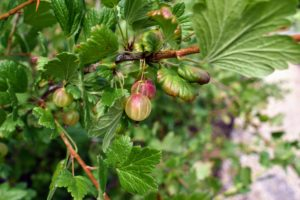 The gooseberries in my garden include 'Pixwell', 'Invicta', and 'Hinnonmaki Red'.