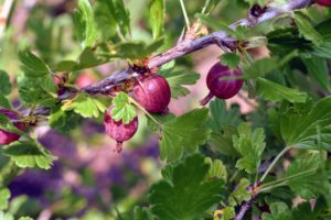 The color of gooseberries depends on the variety. It can range from red and purple to yellow and green. Discard any gooseberries you see on the ground as they are likely overripe.