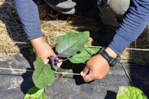 Once secured, the eggplant and pepper plants are carefully placed in between the twine lengths.