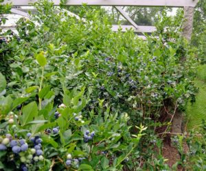 And inside - all these prolific blueberry bushes. These bushes are so full! I grow many blueberry varieties, including 'Bluegold', 'Chandler', 'Darrow', 'Jersey', and 'Patriot'.