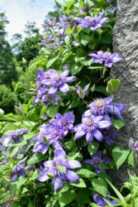 "Some of the cultivars grown here include ""Blue Angel', 'Jackmanii', 'Parisienne', ""Blue Ravine"" and 'Eyers Gift'."