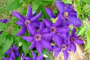 Clematis plants are also heavy feeders and benefit from a low nitrogen fertilizer such as 5-10-10 in spring when the buds are about two-inches long. Alternate feedings every four to six weeks with a balanced 10-10-10 fertilizer and then continue this alternate feeding until the end of the growing season. Remember - if you eat, your plants should eat also.