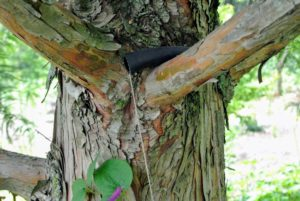 We use twine to support these climbing vines against the trunks of the handsome trees.