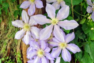 The blooms appear constantly for many weeks making their everblooming nature a must-have in any garden.