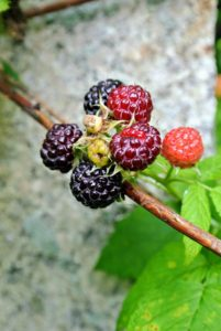 Ripe raspberries are rich in color, whether they are red, golden or black. The entire berry should be consistently colored also, and full in shape before picking. The darkest ones here will be picked - the lighter ones will be left to ripen some more.