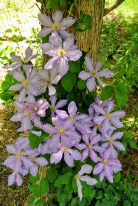 It can take several years for a clematis vine to mature and begin flowering. To shorten the wait, purchase a plant that's at least two years old.