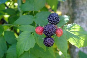 Look for berries with firm plumpness and a good size.
