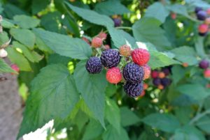 Raspberries are unique because their roots and crowns are perennial, while their stems or canes are biennial.