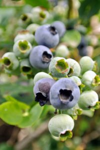 Blueberries don't actually reach their full flavor until a few days after they turn blue, so a tip to know which ones are the best – tickle the bunches lightly and only the truly ripe ones will fall into your hand.