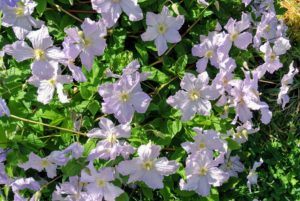 "Known as the ""Queen of the Climbers"", Clematis plants will train onto trellises and fences, or arch gracefully over doorways."