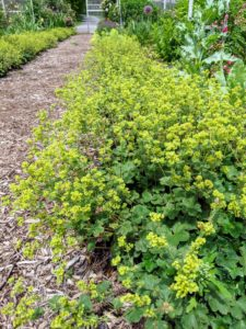 This is called lady's mantle. Lady's mantle, Alchemilla vulgaris. In late spring and early summer, the plant produces lovely chartreuse blooms. I have lady's mantle lining the main footpaths of the cutting garden.