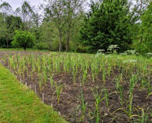 This is a photo of the garlic bed just several weeks ago. This patch is located behind my main greenhouse not far from my berry bushes. Garlic loves a rich fertile loam soil or a silty loam soil. It also grows best in an area that drains well – the cloves can rot if they sit in water or mud.