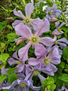 Once established, clematis should be watered about an inch or so weekly, and more deeply during dry spells.