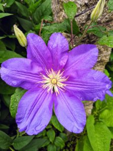 Most species are known as clematis, but it has also been called traveler's joy, virgin's bower, leather flower, or vase vine.