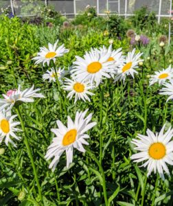 Shasta daisy flowers provide perky summer blooms, offering the look of the traditional daisy along with evergreen foliage. I have an abundance of shasta daisies this season – they always look so cheerful, especially when planted in large groups.