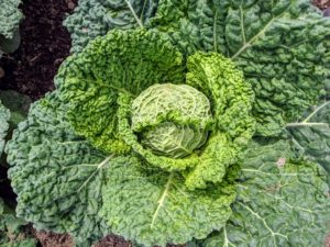 The leaves of the Savoy cabbage are more ruffled and a bit more yellowish in color than the green cabbages. To get the best health benefits from cabbage, it's good to include all three varieties into the diet – Savoy, red, and green. And, don't forget, cabbage can be eaten cooked and raw.