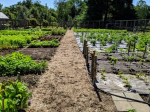 Here is a view down the center of my vegetable garden adjacent to the chicken coops. All the plants are doing very well and are growing quickly. I like to use salt hay in the footpath to enhance the look of the garden and to enrich the soil. It also helps cut down on those pesky weeds.