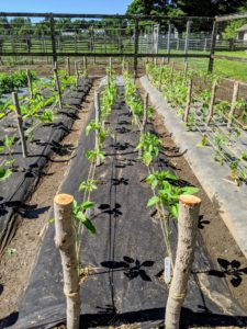 On this side are the peppers and eggplants. They were just staked using natural wood supports and jute twine. Staking various vegetables is necessary to keep weighty fruits off the ground and to reduce the risk of disease.