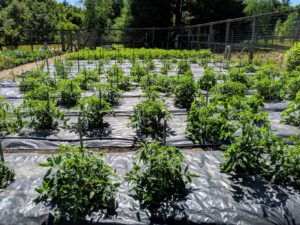This year, I planted the tomatoes closer to the front of the garden. I always practice crop rotation. Doing this reduces the spread of soil-borne disease and avoids nutrient depletion in the soil. I grow both hybrid and heirloom tomato varieties.