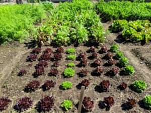 And don't forget all the lettuce. Lettuce is a fairly hardy, cool-weather vegetable that thrives when the average daily temperature is between 60 and 70-degrees Fahrenheit. Look how beautiful these lettuces are growing in this square bed.