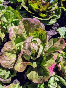 I love all the different lettuce varieties and colors and can't wait to harvest them for my family's many delicious salads.