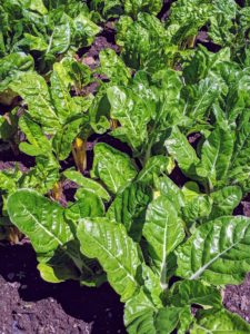 Swiss chard is a relative of the beet and a superb source of vitamins A, C, and K, as well as magnesium, potassium, and iron. It makes a colorful and tasty side dish, or a nutritious addition to pasta, soup, quiches, and more.