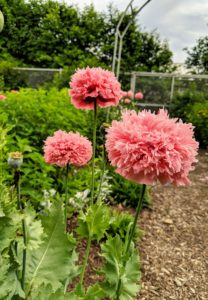 Some of the other plants are also in need of deadheading. These poppy blooms are still looking wonderful, but the one to the far left has already dropped all its petals, leaving only its seed pod.