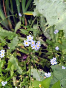 Myosotis is a genus of flowering plants in the family Boraginaceae. One may know them as forget-me-nots or Scorpion grasses - charming, five-petaled, blue blooms with yellow centers that flower from May through October.