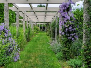 There are several different clematis varieties planted under the pergola, but each pair of posts supports the same kind.