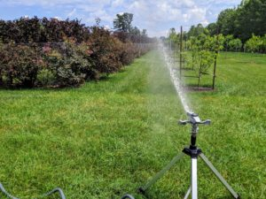 This sprinkler is positioned to water some of the fruit trees, the hedge of Fagus sylvatica 'Dawyck Purple' along the inside of the pool fence and the Physocarpus opulifolius 'Diabolo' and Cotinus coggygria 'Royal Purple' on the outside of the pool fence.