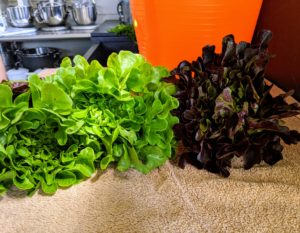 These lettuces look so pretty - my daughter and grandchildren will have many delicious salads.