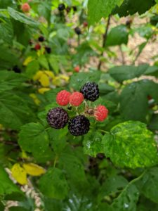 Once raspberries are picked they stop ripening, so under-ripe berries that are harvested will never mature to the maximum sweetness. They must be picked at just the right time.