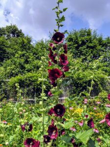 The hollyhock is rust-resistant, very hardy and can easily continue flowering until the first frost.