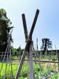 Here is a closer look at the twine after it is secured. The twine is wrapped high up on the bamboo teepee to give the tomato plants room to climb.