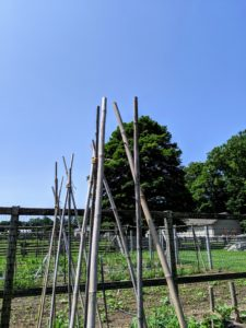 Gavin buries each stake about eight to 10-inches deep around each tomato plant to make the teepee structure. The important thing is to place them deep enough, so they remain secure for the duration of the season. Gavin embeds each stake and angles each one slightly so it is directly above the middle of the plant.